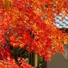京都紅葉狩り旅行2018